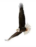 Den skalliga örnen (Haliaeetusleucocephalusen) Arkivfoto
