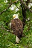 den skalliga örnen perched den wild treen Arkivbild