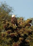 Den skalliga örnen perched i evergreen royaltyfria foton