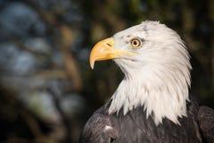 Den skalliga örnen profilerar Royaltyfri Fotografi