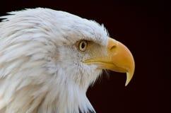 Den skalliga örnen ser till dess intensiva stirrande för den vänstra visningen och skarpa gula näbb arkivfoton