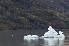 Den skalliga örnen sitter på fragment av smältning av den Mendenhall glaciären Arkivbilder