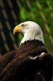 Den skalliga Eagle Arkivbilder