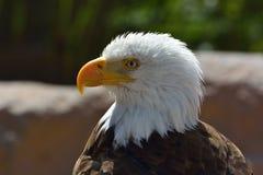 Den skalliga Eagle Royaltyfri Bild