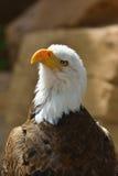 Den skalliga Eagle Royaltyfria Foton