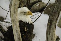 Den skalliga Eagle Arkivfoton
