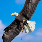 Den skalliga örnen (Haliaeetusleucocephalus) med spridning påskyndar mot blå himmel Arkivbilder
