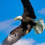 Den skalliga örnen (Haliaeetusleucocephalus) med spridning påskyndar mot blå himmel Royaltyfri Foto