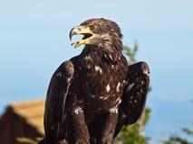 Den skalliga örnen profilerar in Fotografering för Bildbyråer