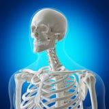 Den skelett- halsen royaltyfri illustrationer