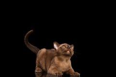 Den skämtsamma Burmese kattungen som nyfiket ser upp, den lyftta svansen, svärtar isolerat Arkivfoto