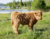 Den skotska höglands- kalven betar på Arkivfoto