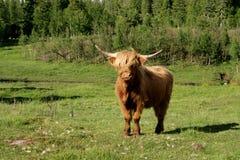Den skotska höglands- kon betar på Arkivfoto