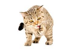 Den skotska raka katten slickar hans tafsar Arkivfoto
