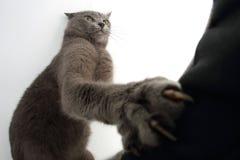 Den skrapade gråa katten klöser på en vit bakgrund Royaltyfria Bilder