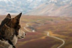 Den skrovliga hunden beskådar sikten över den Dempster huvudvägen, Yukon, Kanada arkivfoto