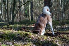 Den skrovliga hunden gräver ett hål Royaltyfri Foto