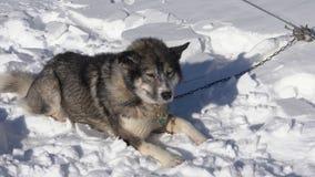 Den skrovliga hunden på koppeln ligger tyst i snö som vilar för lopp för vinterslädehund stock video