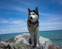 Den skrovliga hunden på vaggar vid vatten arkivbild