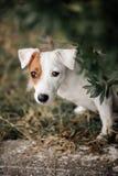 Den släta lagstålarrussell terriern ser ut ur gräsplanen royaltyfri fotografi