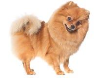 Den slags spitz-hunden Arkivfoto