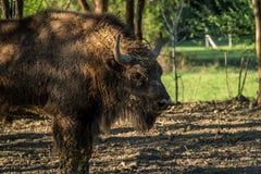 Den smutsiga buffeln med stor bart ser royaltyfria bilder