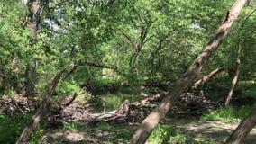 Den smutsiga floden i slarvigt parkerar Vår ung lövverk på träden lager videofilmer