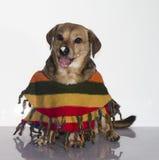 Den smutsiga hunden Royaltyfri Bild