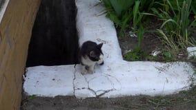 Den smutsiga lilla kattungen jamar, medan sitta på jordningen stock video