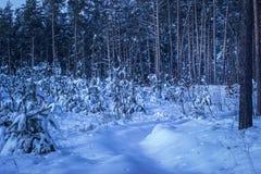 Den snöig banan leder till en fantastisk skog med högväxt sörjer träd Arkivfoton
