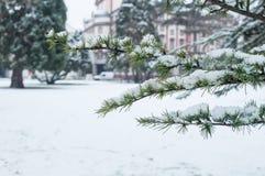 Den snöig cederträfilialen i stads- parkerar Royaltyfria Bilder