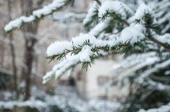 Den snöig cederträfilialen i stads- parkerar Royaltyfri Foto