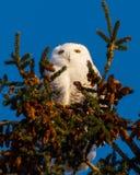 Den snöig ugglan sörjer på trädöverkanten i vinter arkivbilder