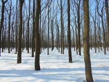 Den snöig vintern parkerar med träd med stupade sidor Royaltyfri Bild