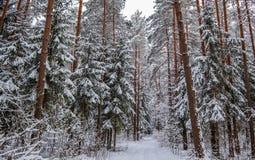 Den snöig vinterskogen med högväxt sörjer och härliga snöig barrträd Vit snöig bana och mycket tunt snöig ris royaltyfria bilder
