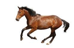 Den snabbt växande bruna hästen fastar isolerat på vit Royaltyfria Bilder