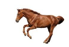 Den snabbt växande bruna hästen fastar isolerat på vit Arkivbilder
