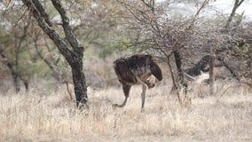 Den somaliska strutsen går och matar in savann lager videofilmer