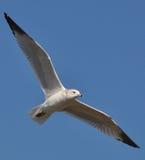 Den soring seagullen Royaltyfri Foto