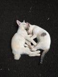 Den sova kattungen Royaltyfri Bild