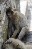 Den sova macaquen på Gibraltar, Europa Royaltyfria Bilder