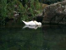 Den sova svanen Arkivfoto