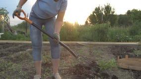 Den spensliga bondaktiga flickan gräver jordplockningpotatisarna och staplar potatisar i en träask arkivfilmer