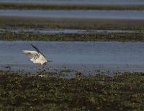 Den spensliga fakturerade fiskmås- eller larusgeneien är art för en flyttfågel Arkivbilder
