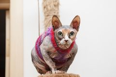 Den Sphynx katten i trendigt värme kläder Fotografering för Bildbyråer
