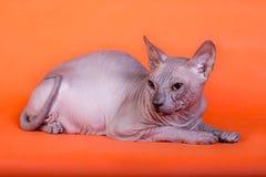 Den Sphynx katten på en orange bakgrund Arkivfoto