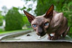 Den Sphynx katten tycker om värmen av en sommardag 3/3 arkivfoto