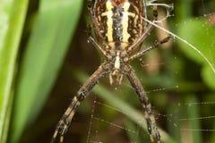 Den spindelArgopa brunnichaen äter dess rov - flugan royaltyfria foton
