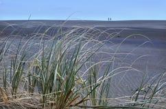 Den Spinifex sericeusen växer på den KareKare stranden arkivbilder