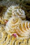 Den Spirobranchus giganteusen, julgran avmaskar Royaltyfri Foto